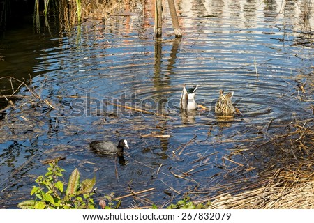 Pair of ducks eating with his head submerged in the water - stock photo