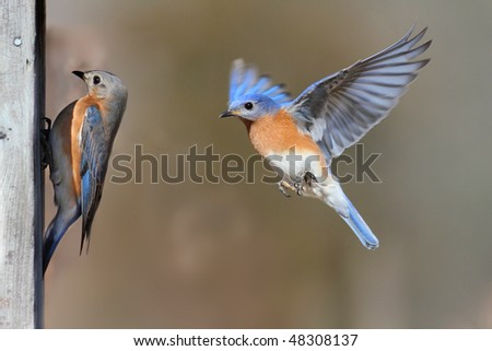 Pair of Eastern Bluebird (Sialia sialis) on a birdhouse - stock photo