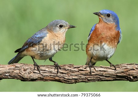 Pair of Eastern Bluebird (Sialia sialis) on a branch with a green background - stock photo