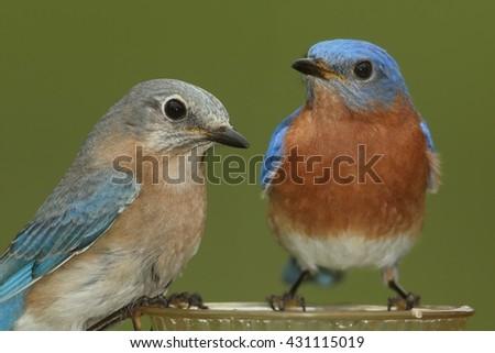 Pair of Eastern Bluebird (Sialia sialis) on a feeder - stock photo