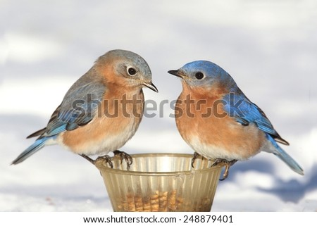 Pair of Eastern Bluebird (Sialia sialis) on a feeder in winter with snow - stock photo