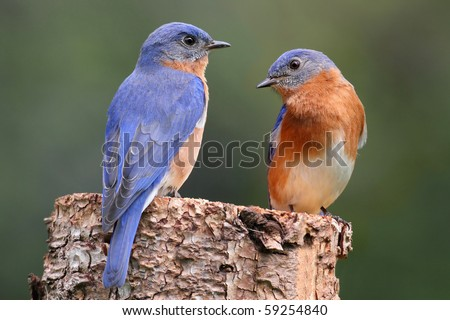 Pair of Eastern Bluebird (Sialia sialis) on a log with nesting material - stock photo