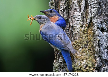 Pair of Eastern Bluebirds (Sialia sialis) bringing food to a nest - stock photo