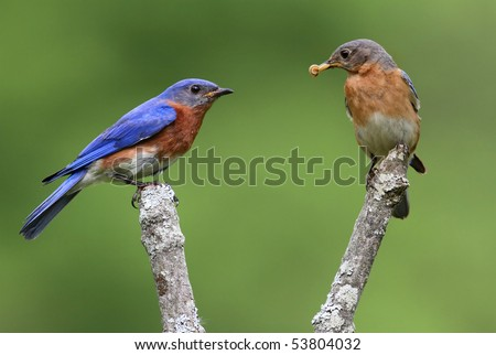 Pair of Eastern Bluebirds (Sialia sialis) on a branch with a green background - stock photo