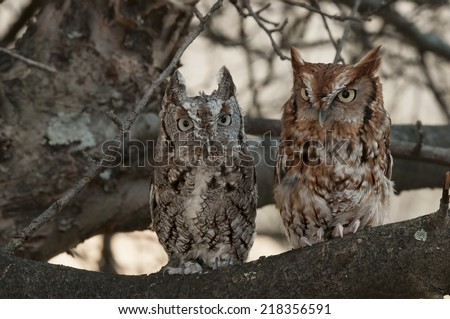 Pair of Eastern Screech Owls, Gray and Rust, Sitting in a Tree - stock photo