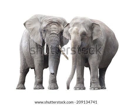 Pair of elephants isolated on white background - stock photo