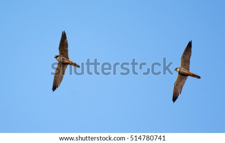 Pair of Eurasian hobby flying in the blue sky
