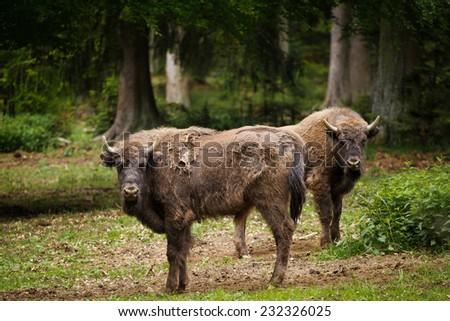 Pair of European bison, wisent (Bison bonasus) - stock photo