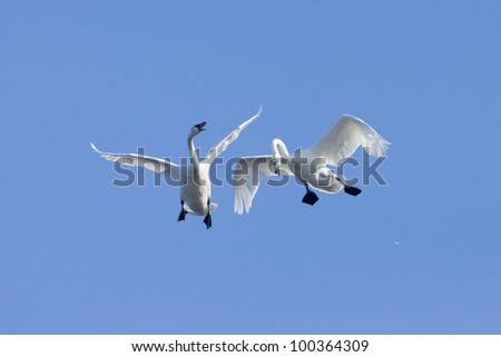 Pair of Fighting Flying Swans - stock photo