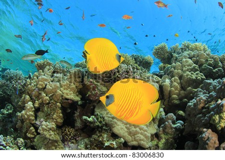 Pair of Fish on tropical coral reef: Masked Butterflyfish - stock photo
