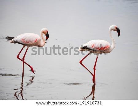 Pair of flamingos in Nakuru, Africa lake. - stock photo