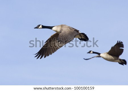 Pair of Flying Canada Geese - stock photo