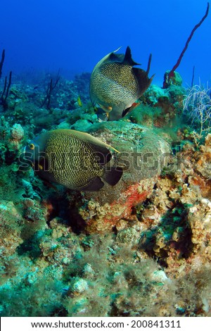 Pair of French Angelfish on the Reef, Grand Cayman - stock photo