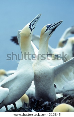 Pair of gannets in courtship display - stock photo