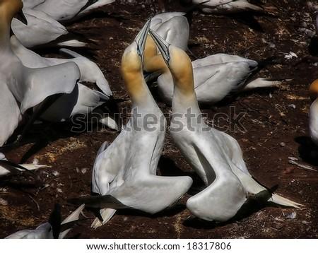 Pair of gannets in courtship display at Bonaventure Island, Perce, Canada - stock photo