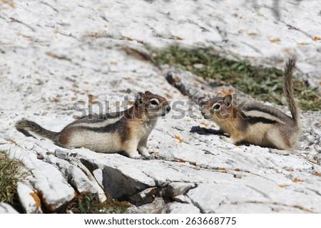 Pair of Golden-mantled Ground Squirrels (Callospermophilus lateralis) - Jasper National Park, Alberta, Canada - stock photo