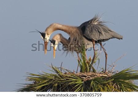 Pair of Great Blue Herons (Ardea herodias) Displaying Courtship Behavior at Their Nest - Melbourne, Florida - stock photo