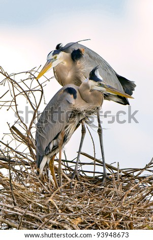 pair of great blue herons at their nest - stock photo