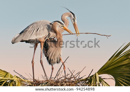 Pair of great blue herons build a nest at the Ritch Grissom Memorial Wetlands (often referred to as the Viera Wetlands) in Melbourne, Florida - stock photo