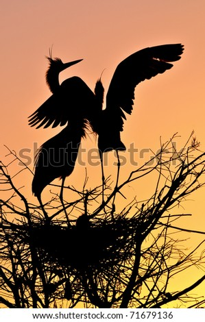 pair of great blue herons silhouetted at nest in florida wetland pond by dawn sunrise - stock photo