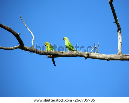 pair of green parrots sitting on tree branch   - stock photo