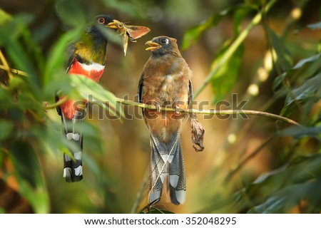 Pair of high altitude Masked Trogon Trogon personatus  in cloud forest of Ecuador. Male offering big moth in its beak as present for female, preched on horizontal twig. Blurry forest as background. - stock photo