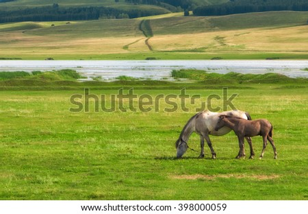 pair of horses grazing in the field, Mare and foal, mother and child, sunlight, field, freedom, clouds, space, breeding - stock photo