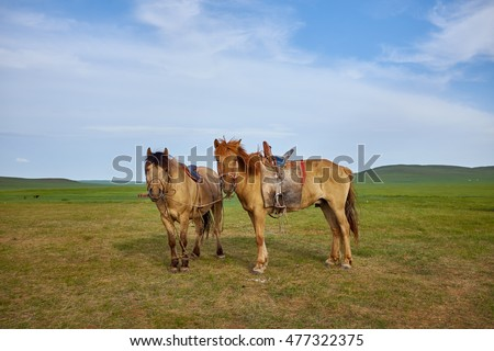 Pair of horses on a summer pasture in Mongolia