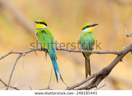 Pair of inquisitive swallow tailed bee eaters, perched on a branch - stock photo