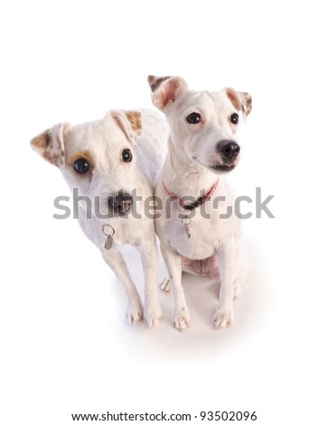 pair of jack russell dogs looking up isolated on white - stock photo