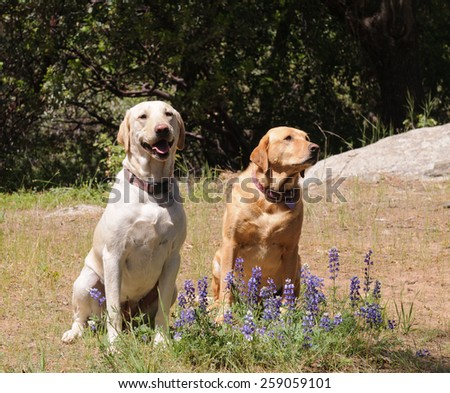 Pair of Labrador dogs sitting obediently waiting for instruction - stock photo