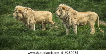 Pair of lions watching a prey in safari park against green grass background