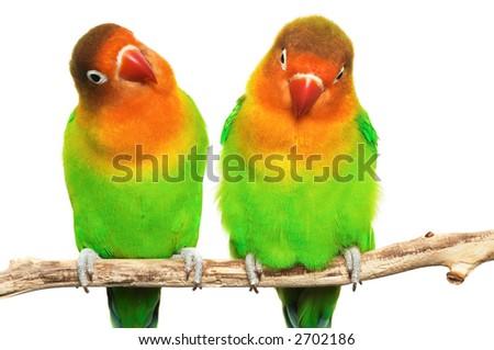 Pair of little lovebirds - stock photo