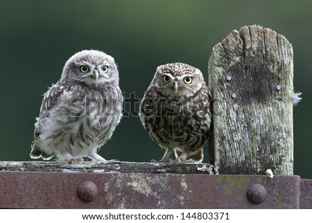 Pair of Little Owls - stock photo
