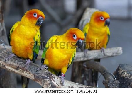 Pair of lovebirds agapornis - stock photo