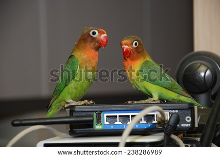 Pair of lovebirds agapornis-fischeri on the router - stock photo