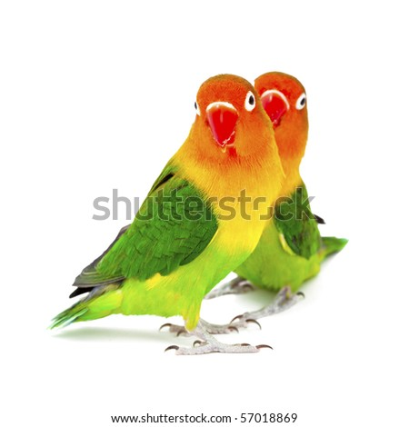 Pair of lovebirds agapornis-fischeri on white background - stock photo