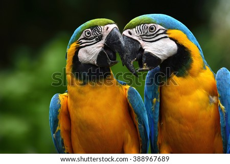 Pair of lovely blue-and-yellow macaw parrot birds (Ara ararauna) known as the blue-and-gold macaw sitting together - stock photo
