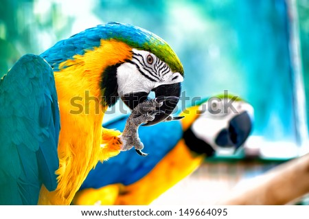 pair of Macaw parrots in the wild with tropical jungle background - stock photo