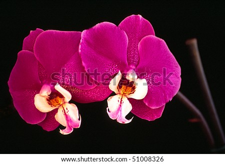Pair of Magenta Orchids - stock photo