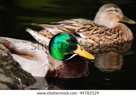Pair of male and female Mallard wild ducks - stock photo