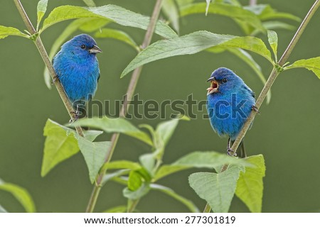 Pair of Male Indigo Buntings in Butterfly Bush - stock photo