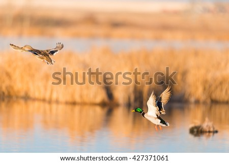 Pair of Mallard Ducks taking flight over a prairie wetland Alberta Canada - stock photo