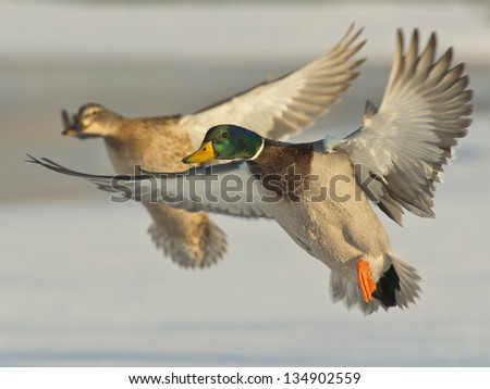 Pair of Mallards - stock photo