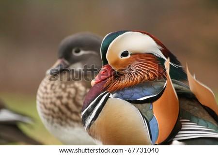 Pair of mandarin ducks - stock photo