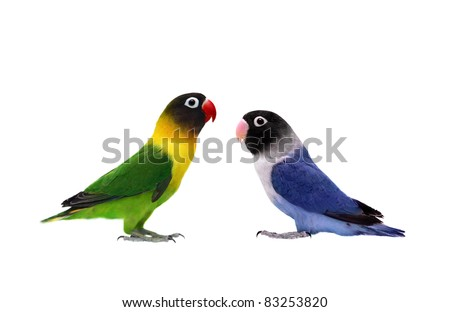 Pair of Masked Lovebird on the white background - stock photo
