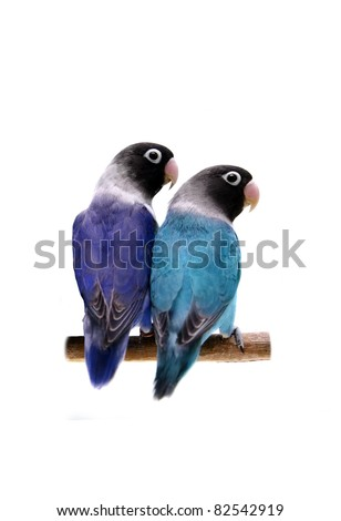 Pair of masked lovebirds (violet and turquoise) on the white background - stock photo