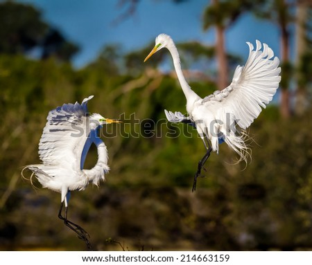 Pair of mating great white egrets, spar in the air - stock photo