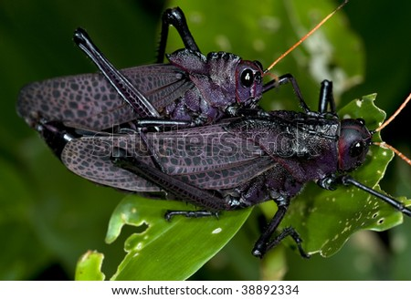 pair of mating red winged black grasshoppers, costa rica - stock photo