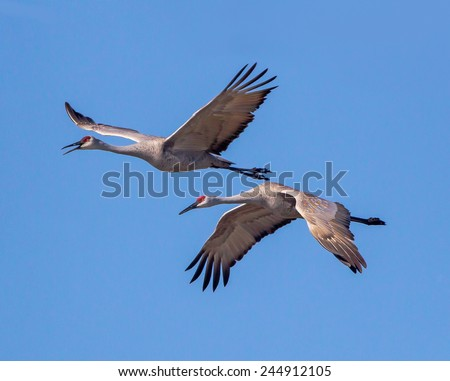 Pair of mating Sand Hill Cranes in Flight - stock photo